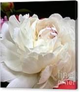 Peony Addiction Canvas Print