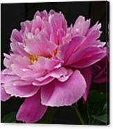 Peony Blossoms Canvas Print