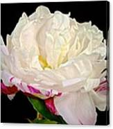 Peony In Repose Canvas Print