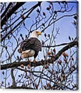 Perched Bald Eagle Canvas Print