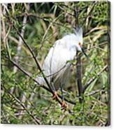 Perched Egret Canvas Print