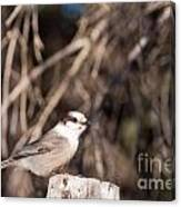 Perched Grey Jay Perisoreus Canadensis Watching Canvas Print