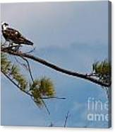 Perched Osprey Canvas Print