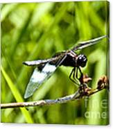 Perched Widow Skimmer Canvas Print
