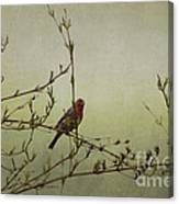 Perching Finch Canvas Print