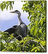 Perching Heron Canvas Print