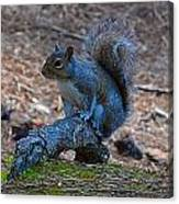 Perching Squirrel Canvas Print