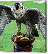 Peregrine Falcon # 1 Canvas Print