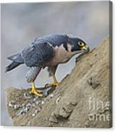 Peregrine Cleaning Beak Canvas Print