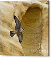 Peregrine Falcon Flying By Cliff Canvas Print