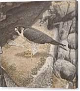 Peregrine Falcon On A Ledge Canvas Print