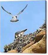 Peregrine Falcons - 2 Canvas Print