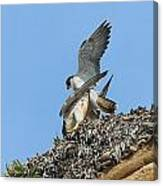 Peregrine Falcons - 5 Canvas Print