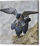 Peregrine Falcons Mating Canvas Print