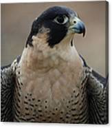 Peregrine Profile Canvas Print