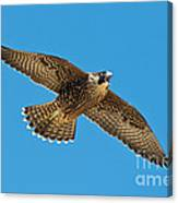 Peregrine Young Screaming For Food Canvas Print