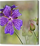Perennial Geranium Canvas Print