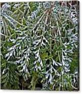 Perennial With Frost Canvas Print