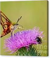 Perfect Hummingbird Moth Canvas Print