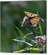 Perfect Monarch Canvas Print
