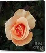 Perfect Peach Rose Canvas Print