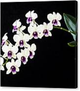 Perfect Phalaenopsis Orchid Poster Canvas Print