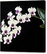 Perfect Phalaenopsis Orchid Canvas Print