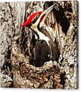Perfect Pileated Pose Canvas Print
