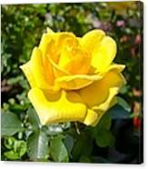 Perfect Yellow Rose Canvas Print
