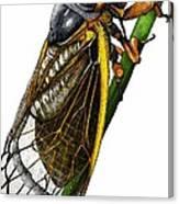 Periodical Cicada Canvas Print