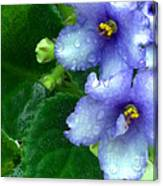 Periwinkle African Violets Canvas Print