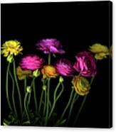 Persian Buttercups Ranunculus Asiaticus Canvas Print