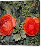 Persian Buttercups Canvas Print