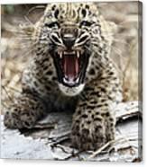 Persian Leopard Cub Snarling Canvas Print
