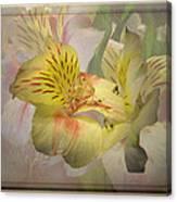 Peruvian Lily Framed Canvas Print