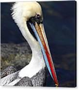 Peruvian Pelican Portrait Canvas Print