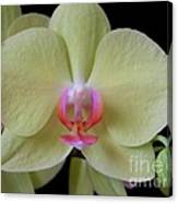 Phalaenopsis Fuller's Sunset Orchid No 2 Canvas Print