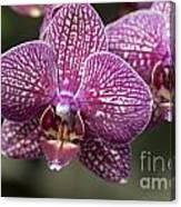 Phalaenopsis Helen Alice Mary 2220 Canvas Print