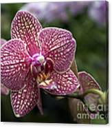 Phalaenopsis Helen Alice Mary 2308 Canvas Print