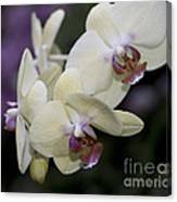 Phalaenopsis Ming Chao Dancer   8585 Canvas Print