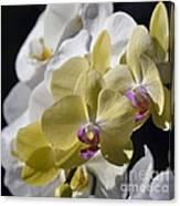 Phalaenopsis Orchids 2777 Canvas Print