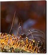 Phalangid Among The Moss Capsules Canvas Print
