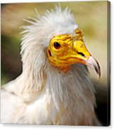 Pharaoh Chicken. Egyptian Vulture Canvas Print