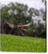Pheasant Take Off Canvas Print