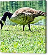 Philly Goose In The Grass Canvas Print
