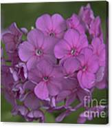 Phlox Nicky Canvas Print