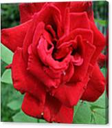 Photograph Reddest Of Roses Canvas Print