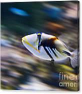 Picasso - Lagoon Triggerfish Rhinecanthus Aculeatus Canvas Print