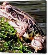 Pickerel Frog Canvas Print