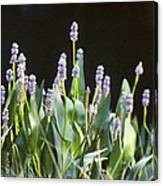 Pickerel Weed Canvas Print